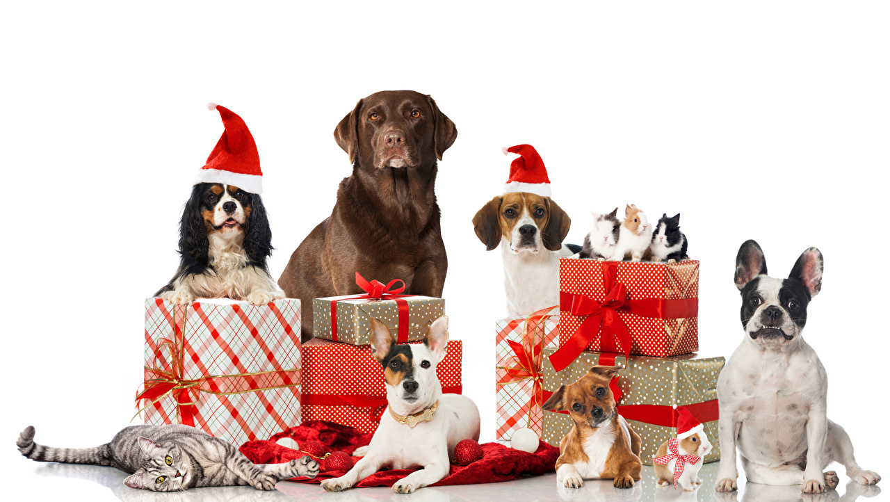 Images Beagle Bulldog Spaniel Retriever Dogs Cats Rabbits Christmas Winter hat Gifts Balls Animals White background New year present
