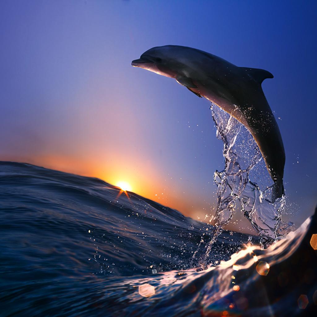 壁紙 朝焼けと日没 海 イルカ 水飛沫 動物 ダウンロード 写真