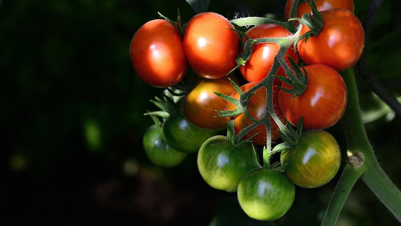 Bilder Grün Tomate Ast das Essen Nahaufnahme Tomaten Lebensmittel hautnah Großansicht