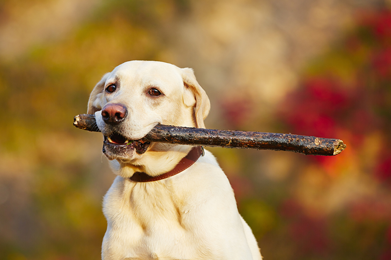 Wallpaper Retriever dog White Snout animal Dogs Animals