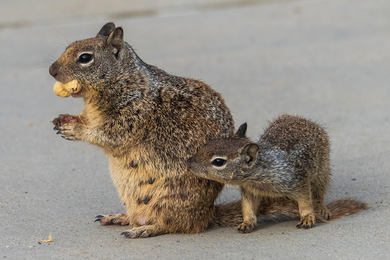 Desktop Wallpapers Squirrels Cubs Two Nuts Animals 2 animal