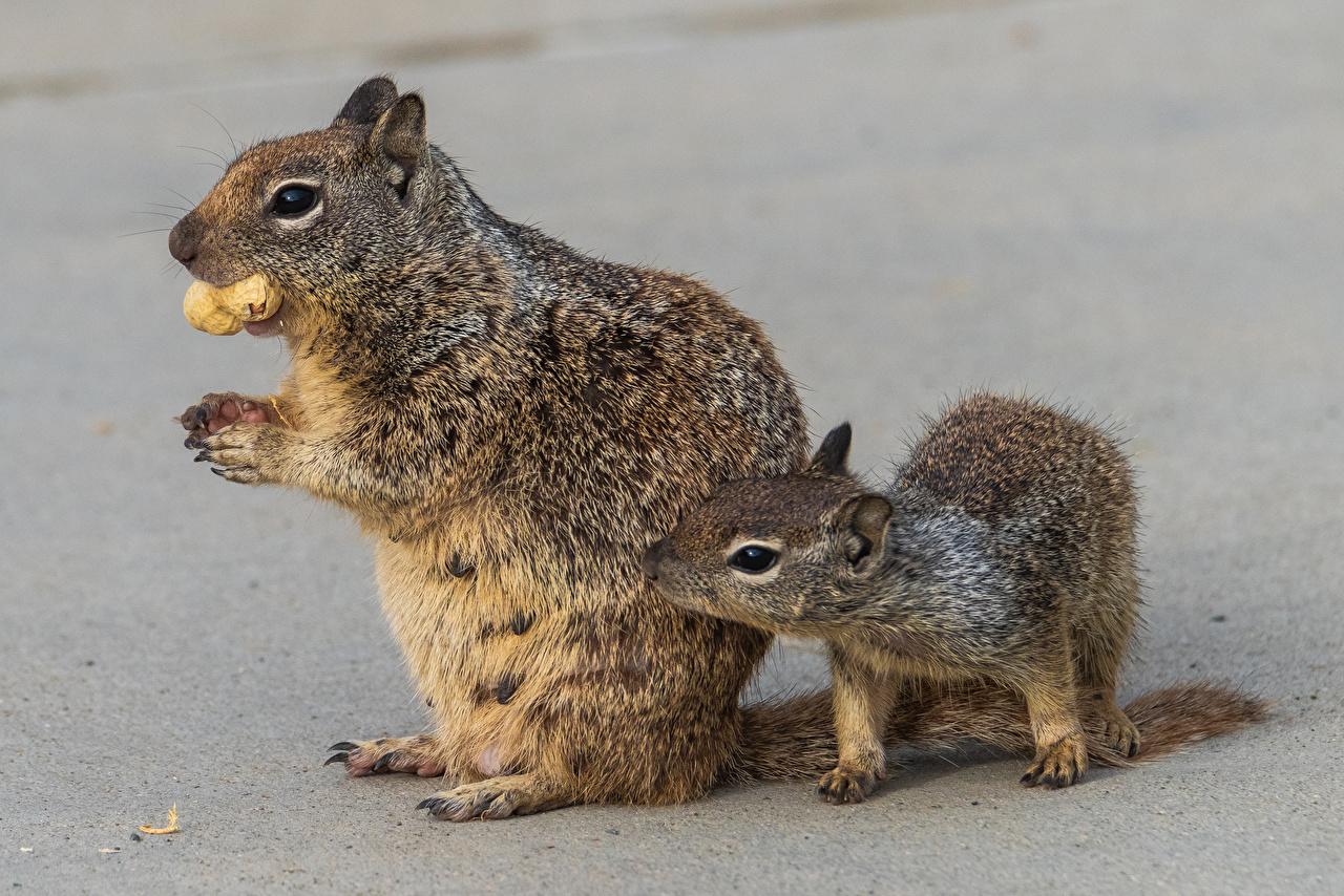Fotos Eichhörnchen Jungtiere 2 ein Tier Schalenobst Hörnchen babys Zwei Tiere Nussfrüchte