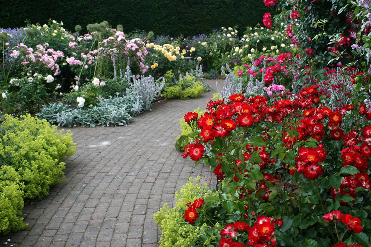Picture United Kingdom Rosemoor Rose Garden Devon Roses Nature