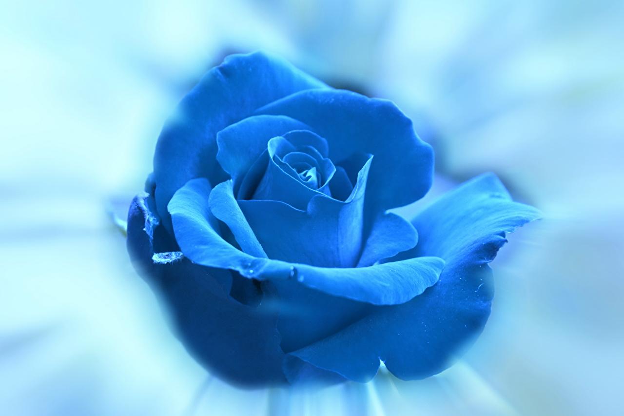 Fonds D Ecran Roses Bleu Fleurs Telecharger Photo