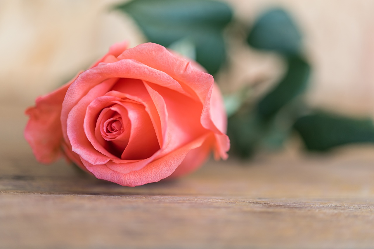 Images Roses Pink color Flowers Closeup rose flower