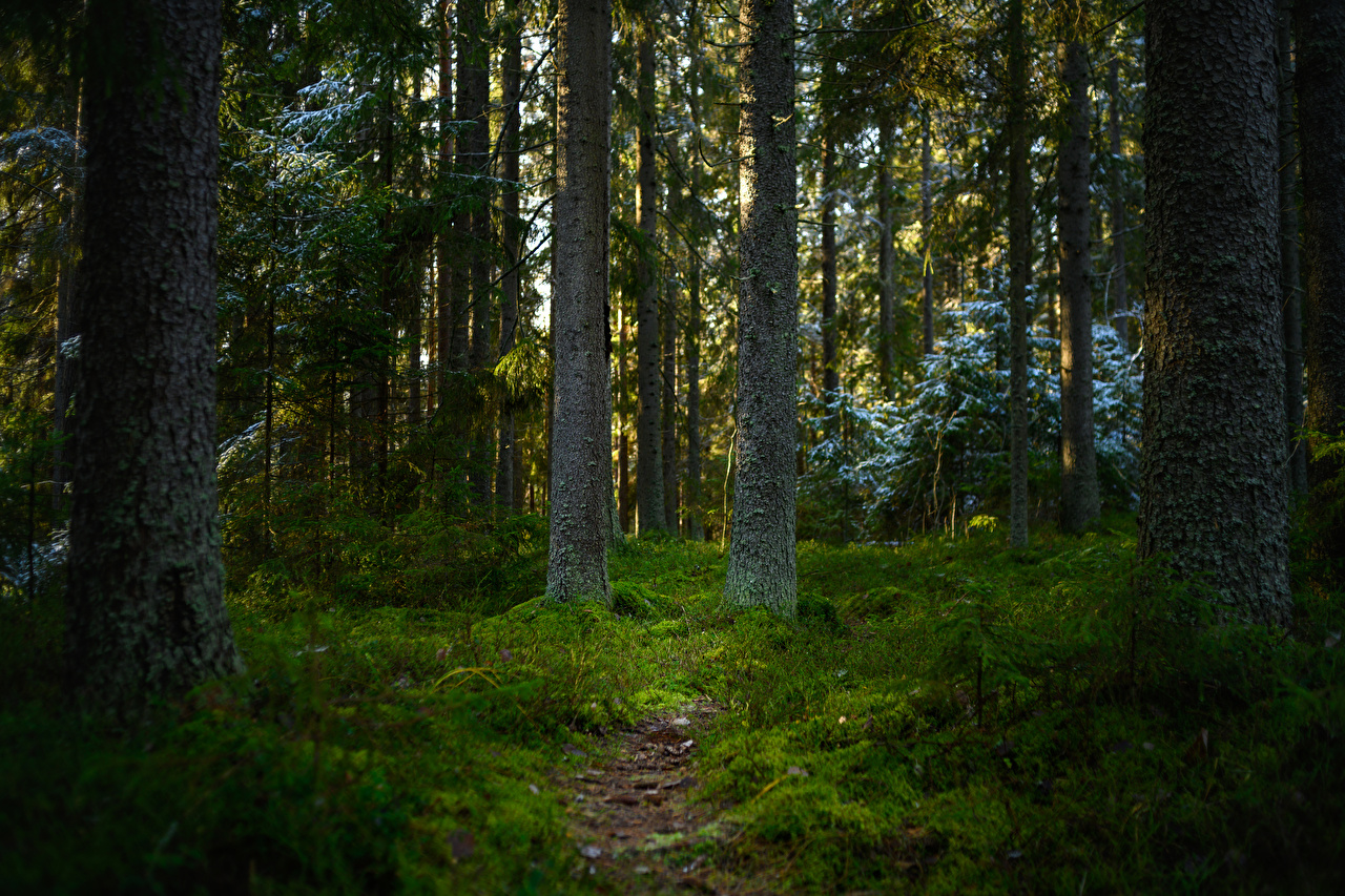Images Finland path Nature forest Moss Trees Trail Forests