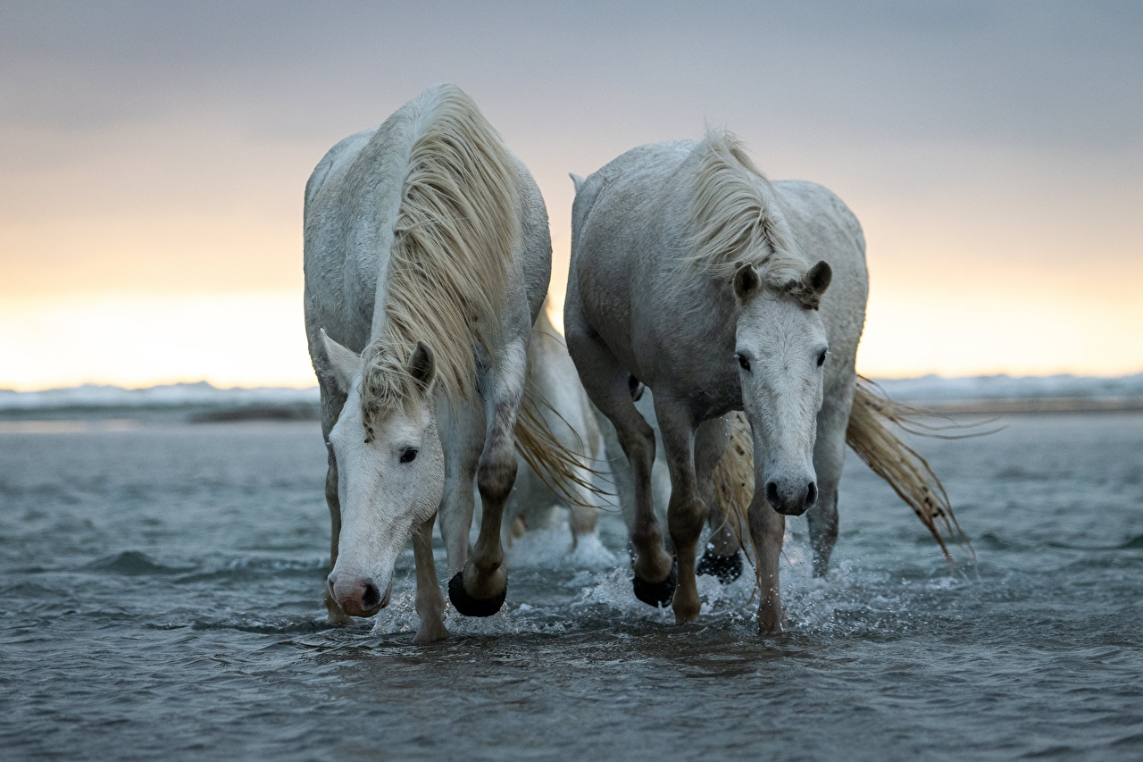 Wallpaper horse 2 White Water animal Horses Two Animals