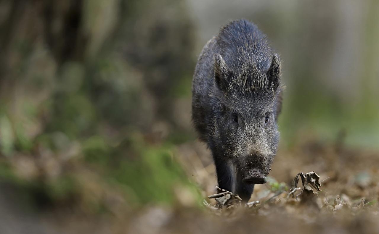 Pictures Wild boar blurred background animal wild pig wild swine Bokeh Animals