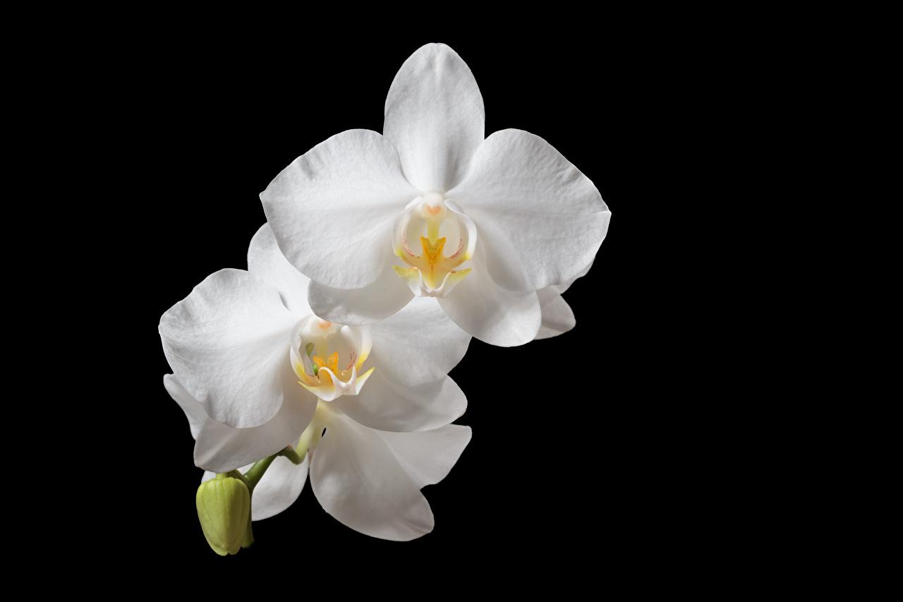 Wallpaper White Orchid flower Closeup Black background orchids Flowers