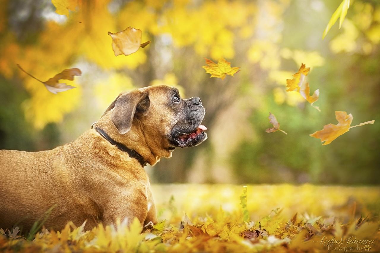 Photo Boxer dog Leaf blurred background Autumn Animals Dogs Foliage Bokeh animal