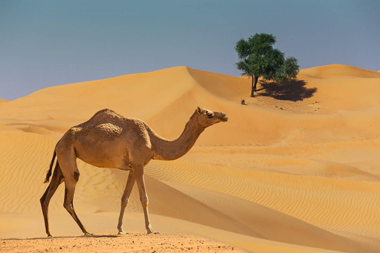 Photo Camels Desert Side Animals animal