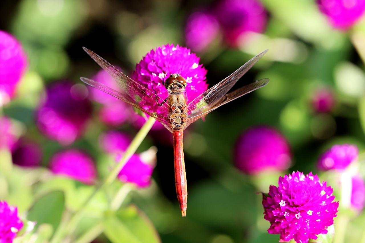 Fotos von Insekten Libellen Bokeh Tiere hautnah unscharfer Hintergrund ein Tier Nahaufnahme Großansicht