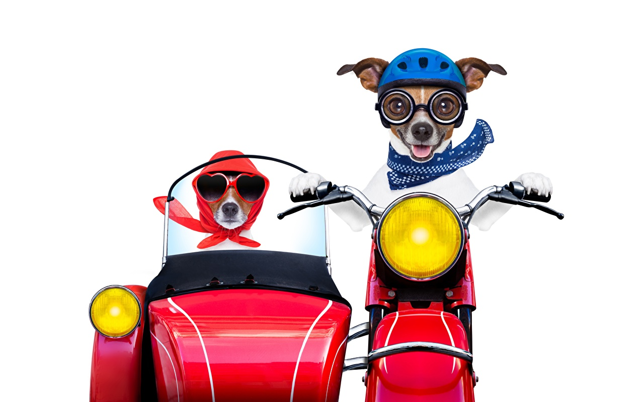 Photo Jack Russell terrier Dogs Helmet Funny Motorcyclist Animals White background dog animal