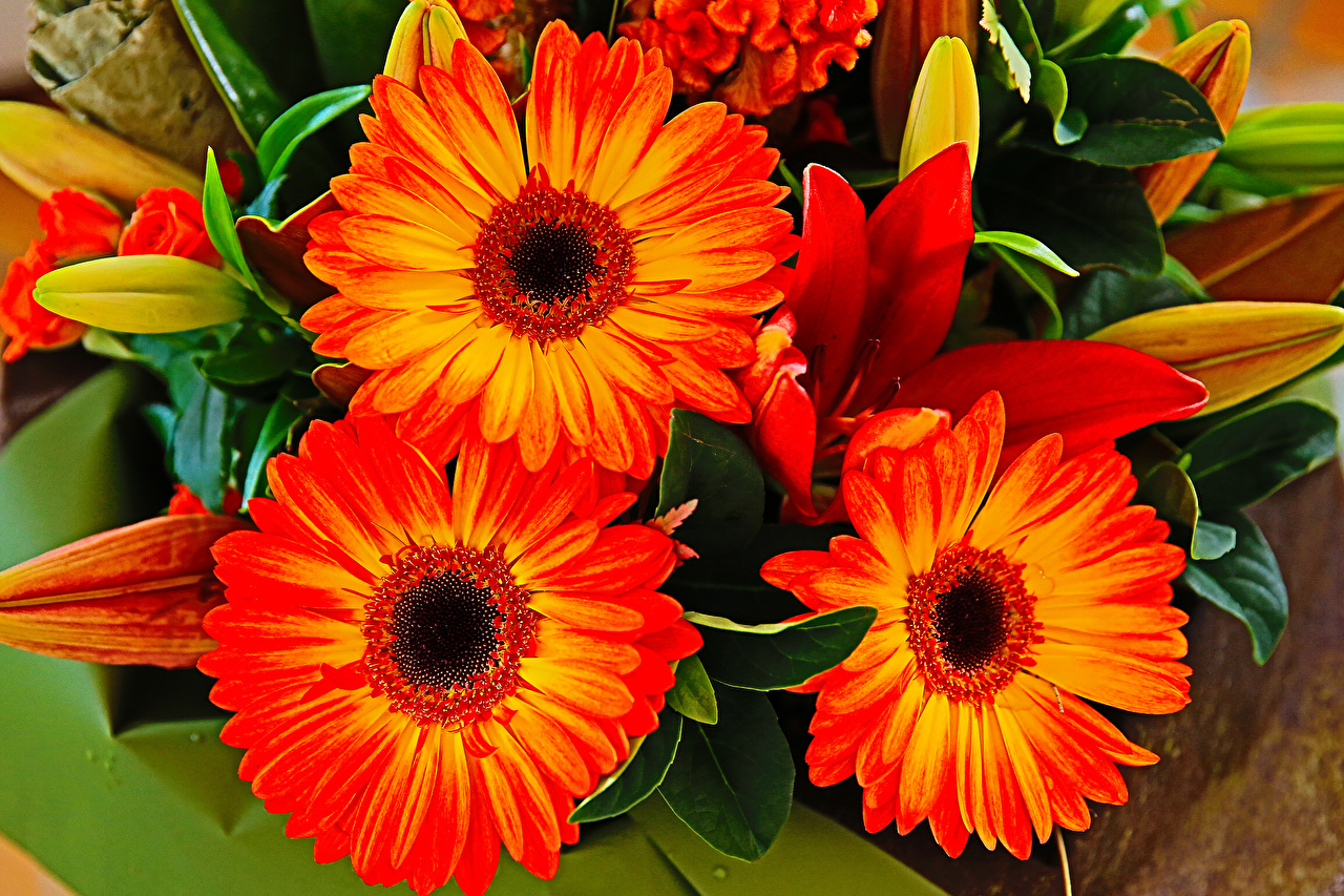 Desktop Wallpapers gerbera flower Closeup Gerberas Flowers