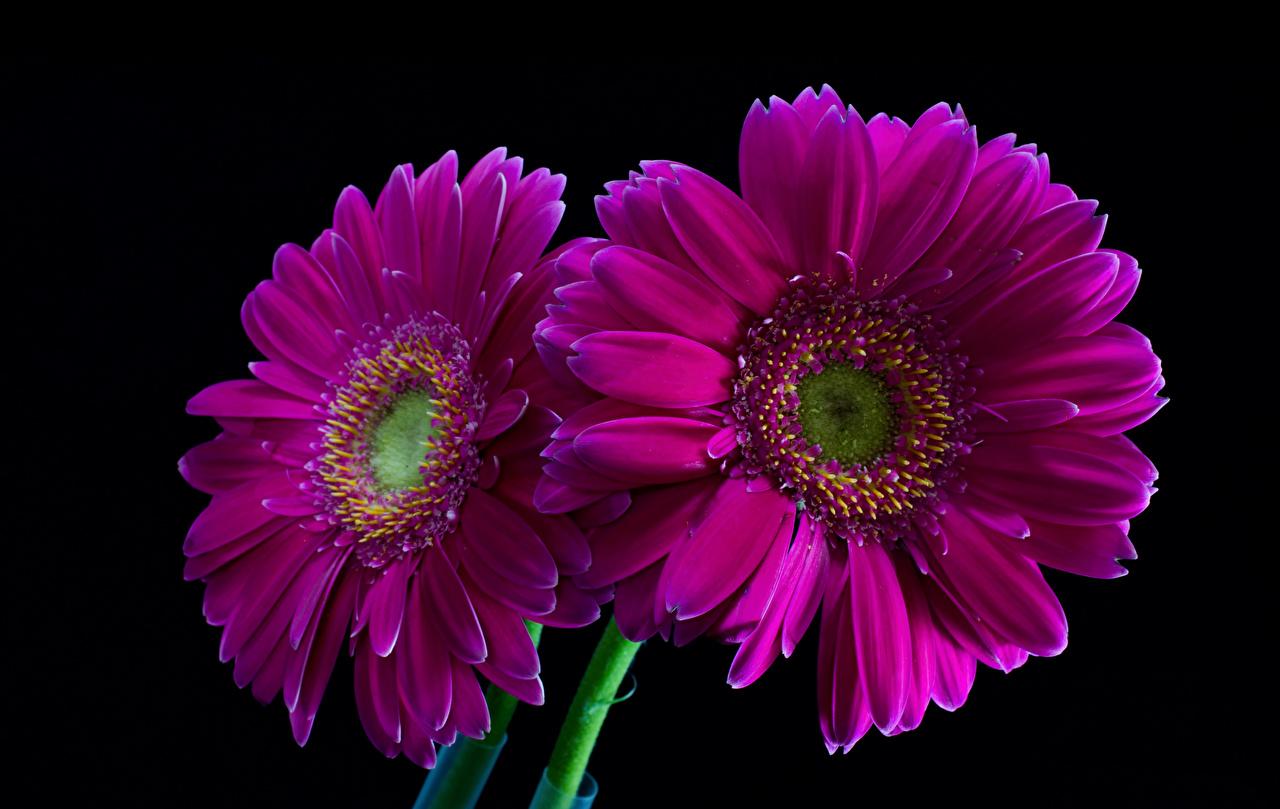Bilder Två 2 Gerbera Violett Blommor Närbild Svart bakgrund