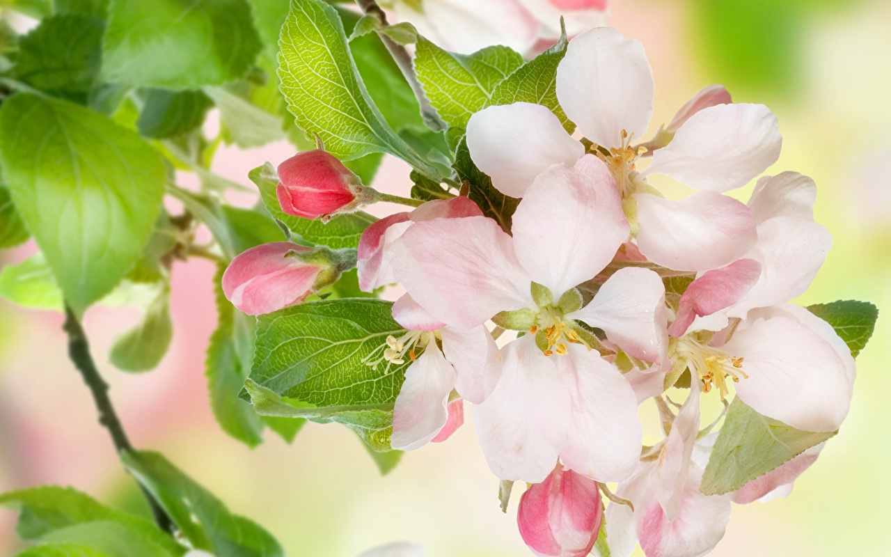 Picture Malus Pink color flower Closeup Flowering trees Flowers