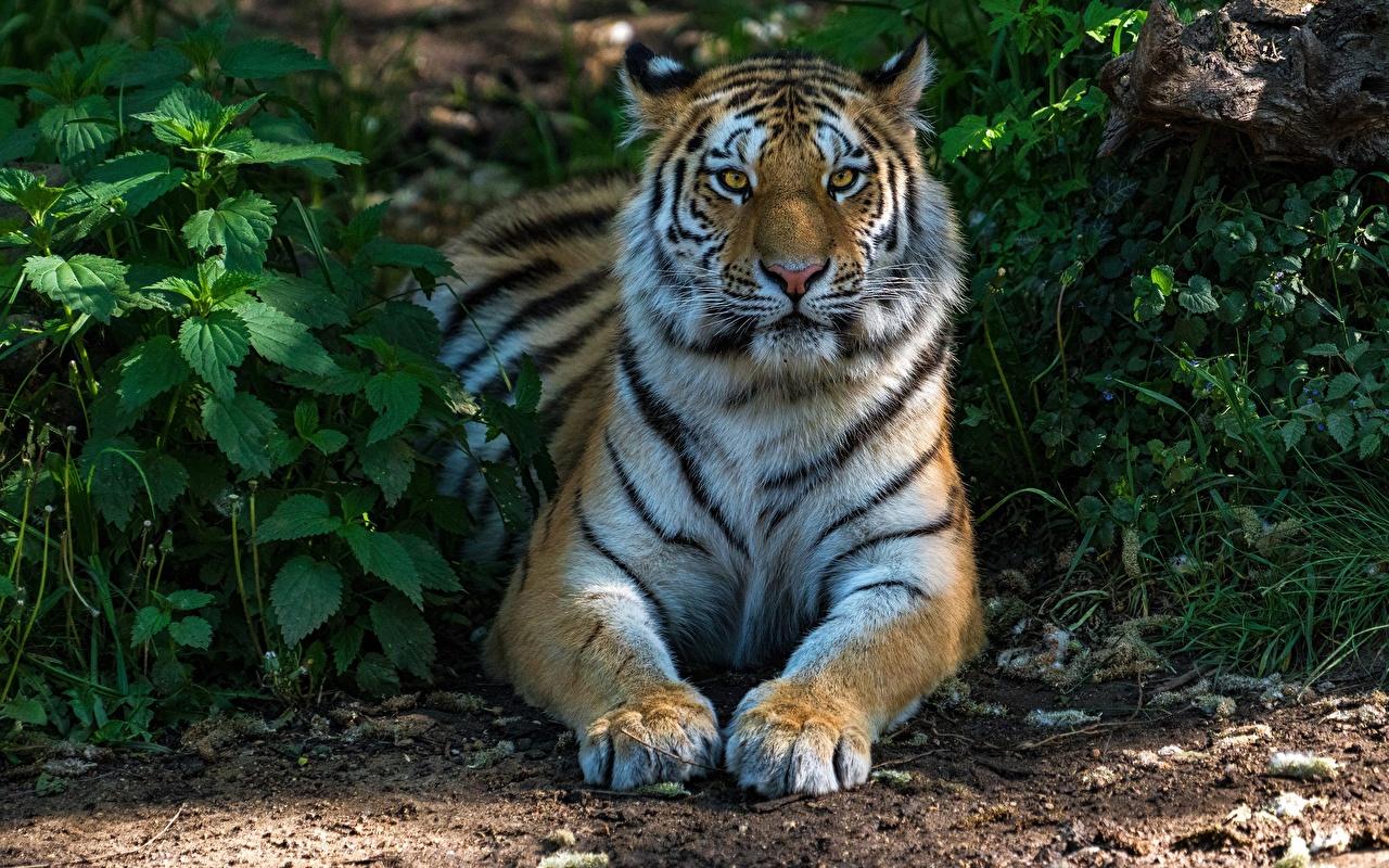 Fotos Tiger Pfote Tiere Blick Starren