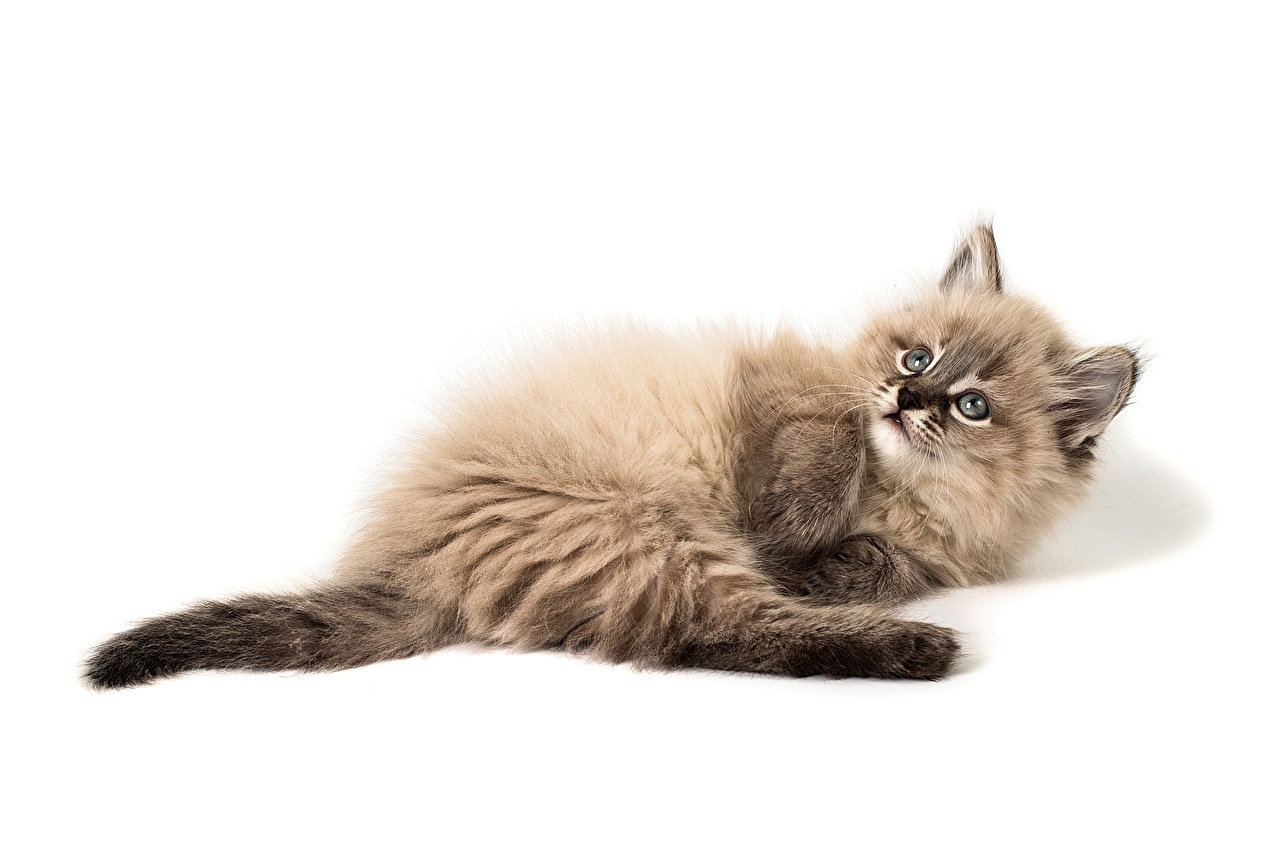 Foto Kätzchen hinlegen süßes Flauschige Tiere Weißer hintergrund Katzenjunges Liegt ruhen Liegen nett Süß süße süßer niedlich Flaumig flauschiger ein Tier