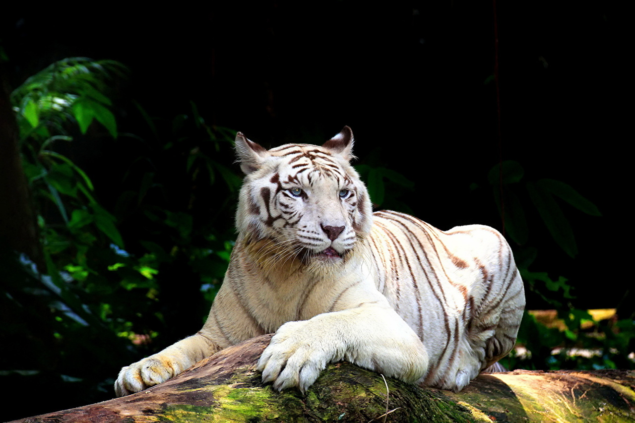 Pictures tiger Big cats White Animals Tigers animal
