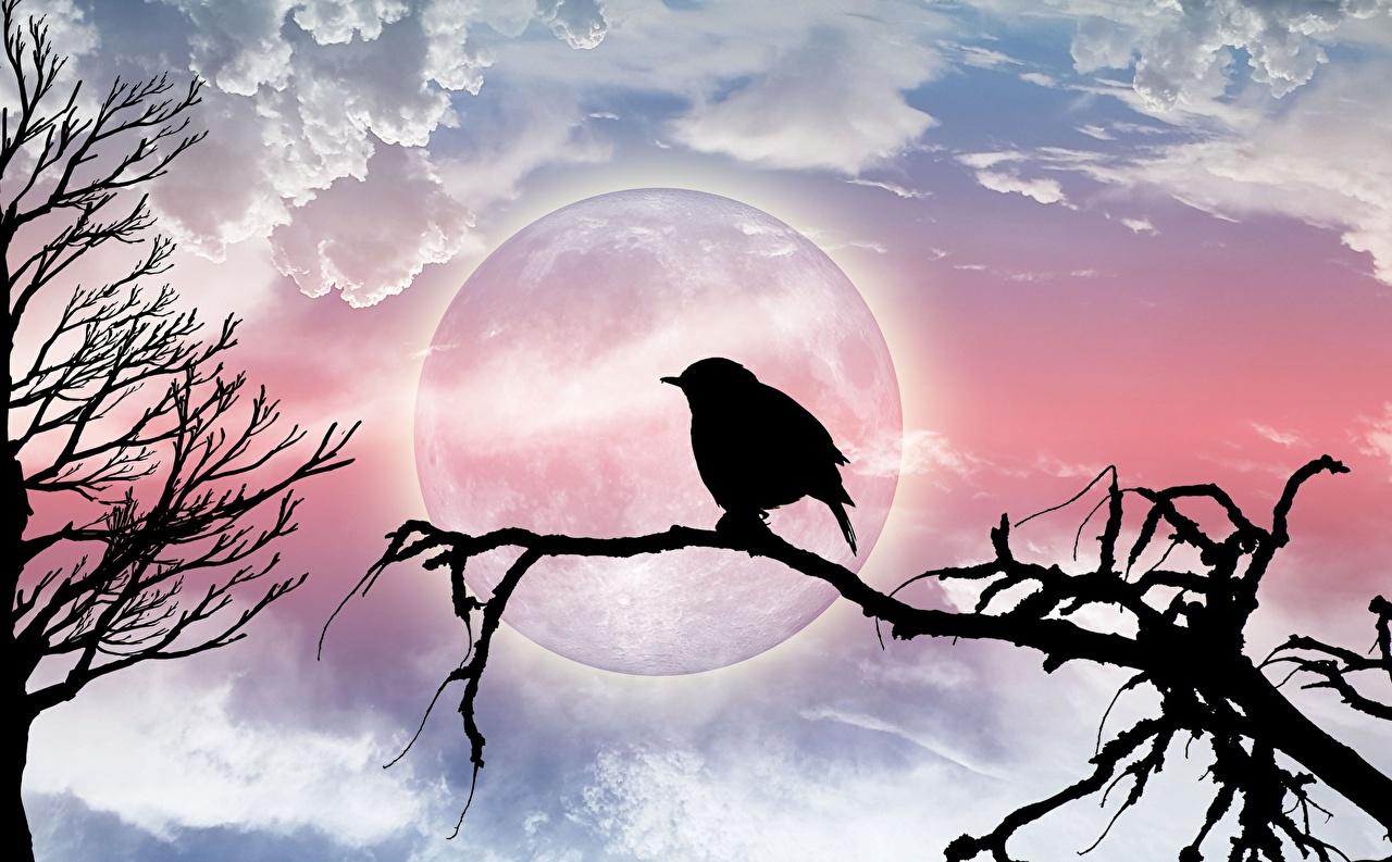 壁紙 鳥類 枝 月 シルエット ダウンロード 写真