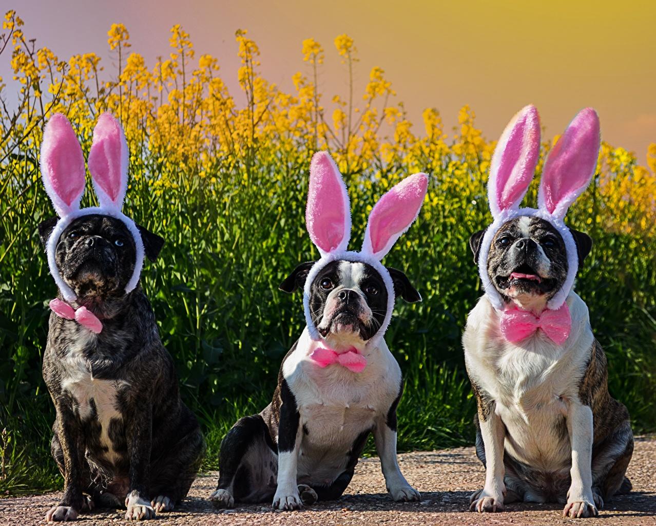 Photo funny Bulldog Dogs Rabbit ears Three 3 Bow tie Humor dog