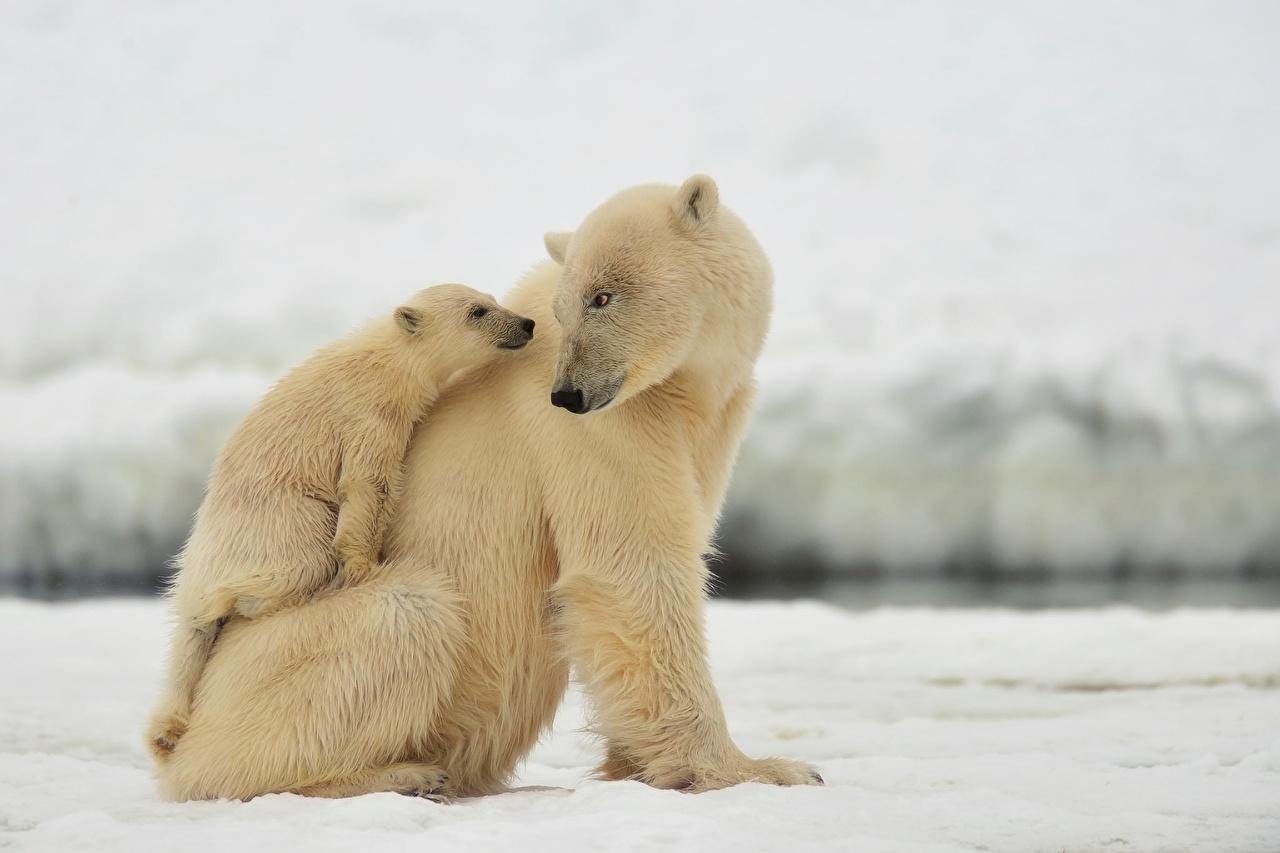 Skrivebordsbakgrunn Isbjørn Unger Bjørner To 2 Dyr ung bjørn