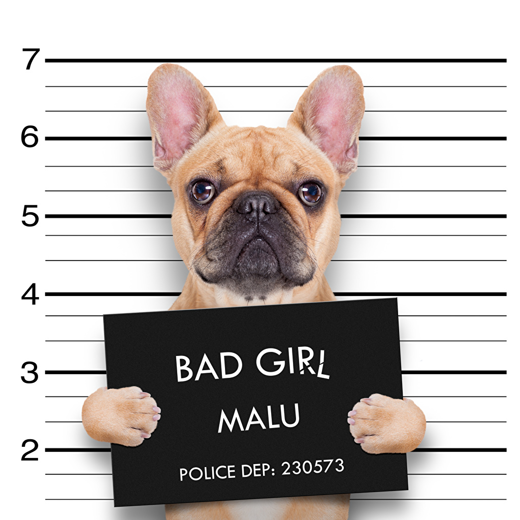 Pictures Bulldog dog English Funny text animal Dogs lettering Word - Lettering Animals