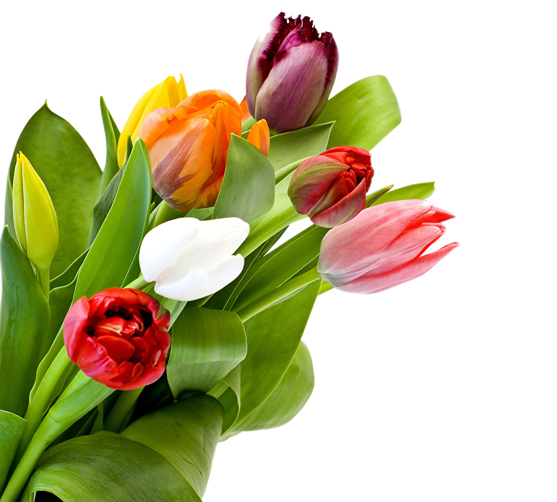 Wallpaper Tulips Flowers Closeup White background tulip flower