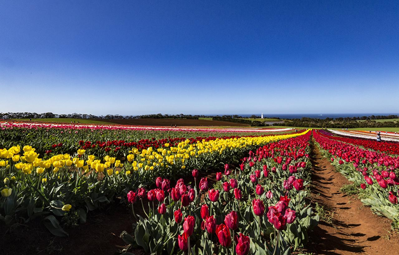 Bilder von Australien Tasmania Tulpen Acker Blüte Viel Felder Blumen