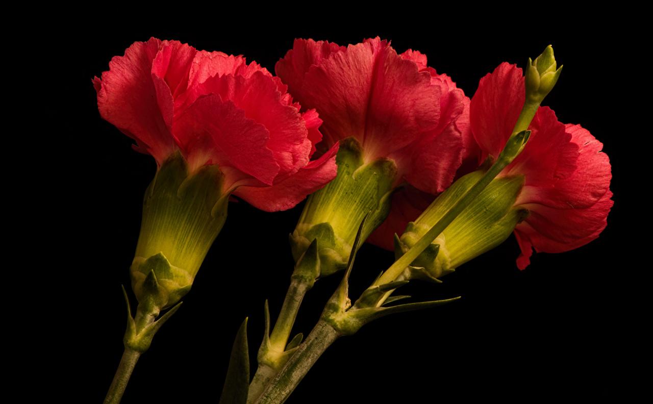 Dianthus Fundo preto Três 3 Vermelho flor Flores