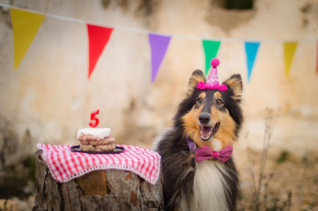 Photo Collie Birthday Dogs happy Bow tie Animals dog Joy joyful animal