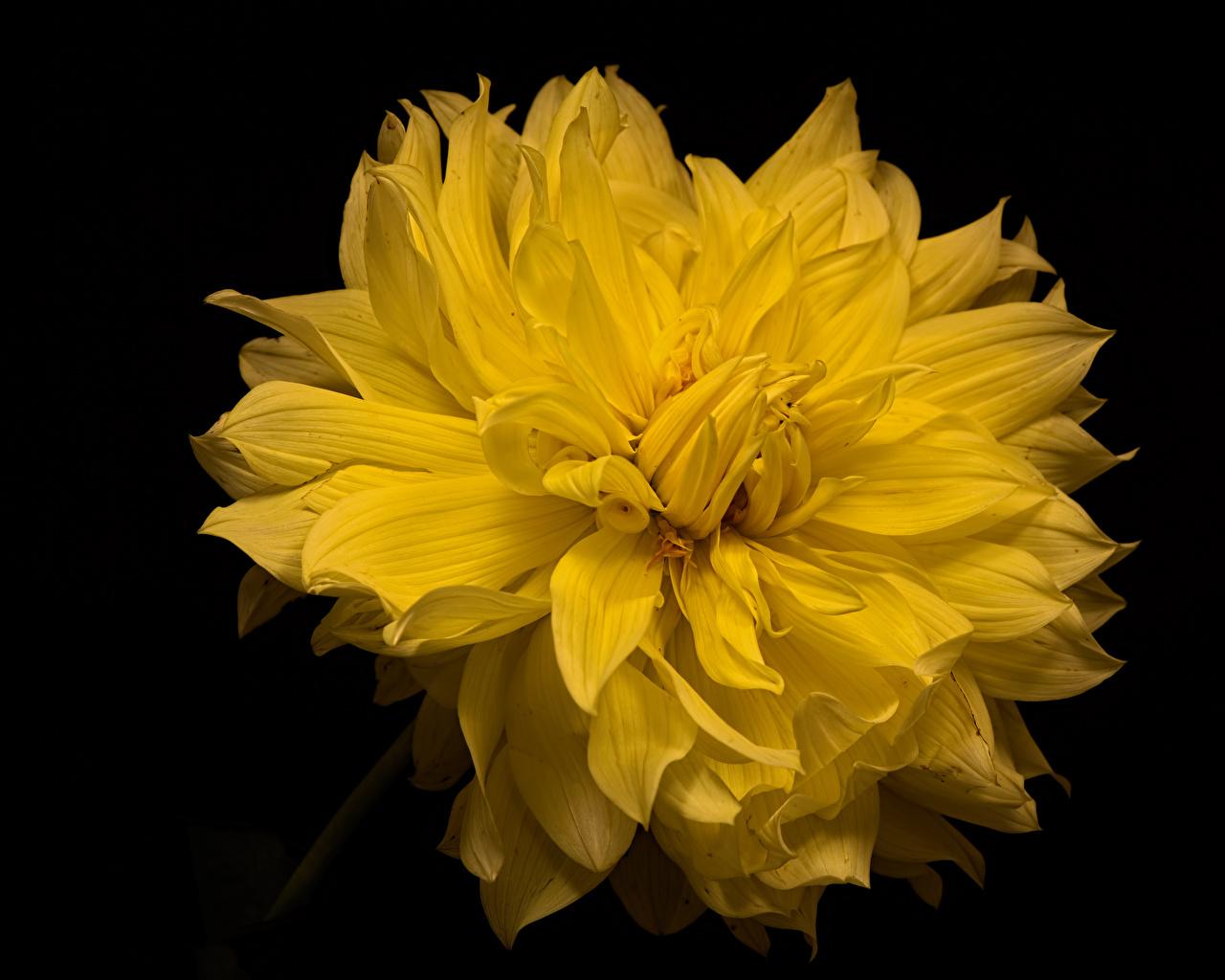 Fotos Gelb Blumen Georginen Nahaufnahme Schwarzer Hintergrund Blüte Dahlien hautnah Großansicht