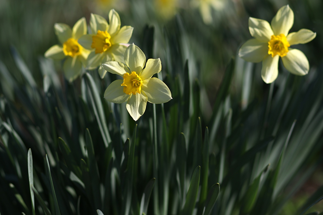 Bilder von unscharfer Hintergrund Blüte Narzissen Drei 3 Nahaufnahme Bokeh Blumen hautnah Großansicht