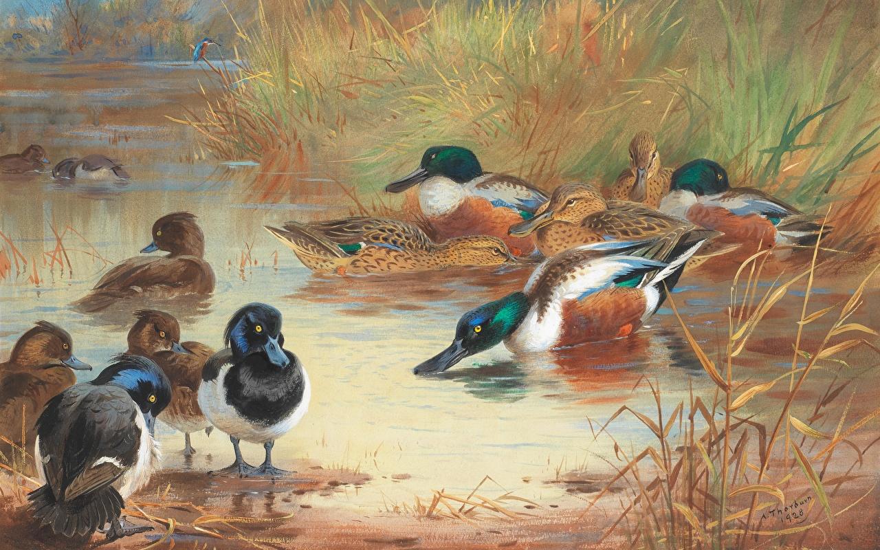 Bilder Entenvögel Archibald Thorburn, Scottish painter, Shoveler and Tufted Duck Malerei Tiere Gezeichnet Ente Gemälde ein Tier