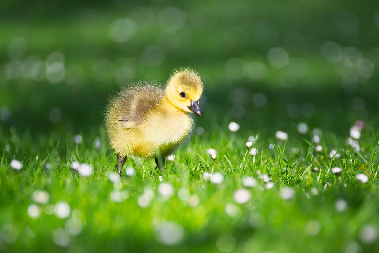 Achtergronden bureaublad Vogels Ganzen Kuikens onscherpe achtergrond Gras Dieren vogel kuiken Bokeh een dier