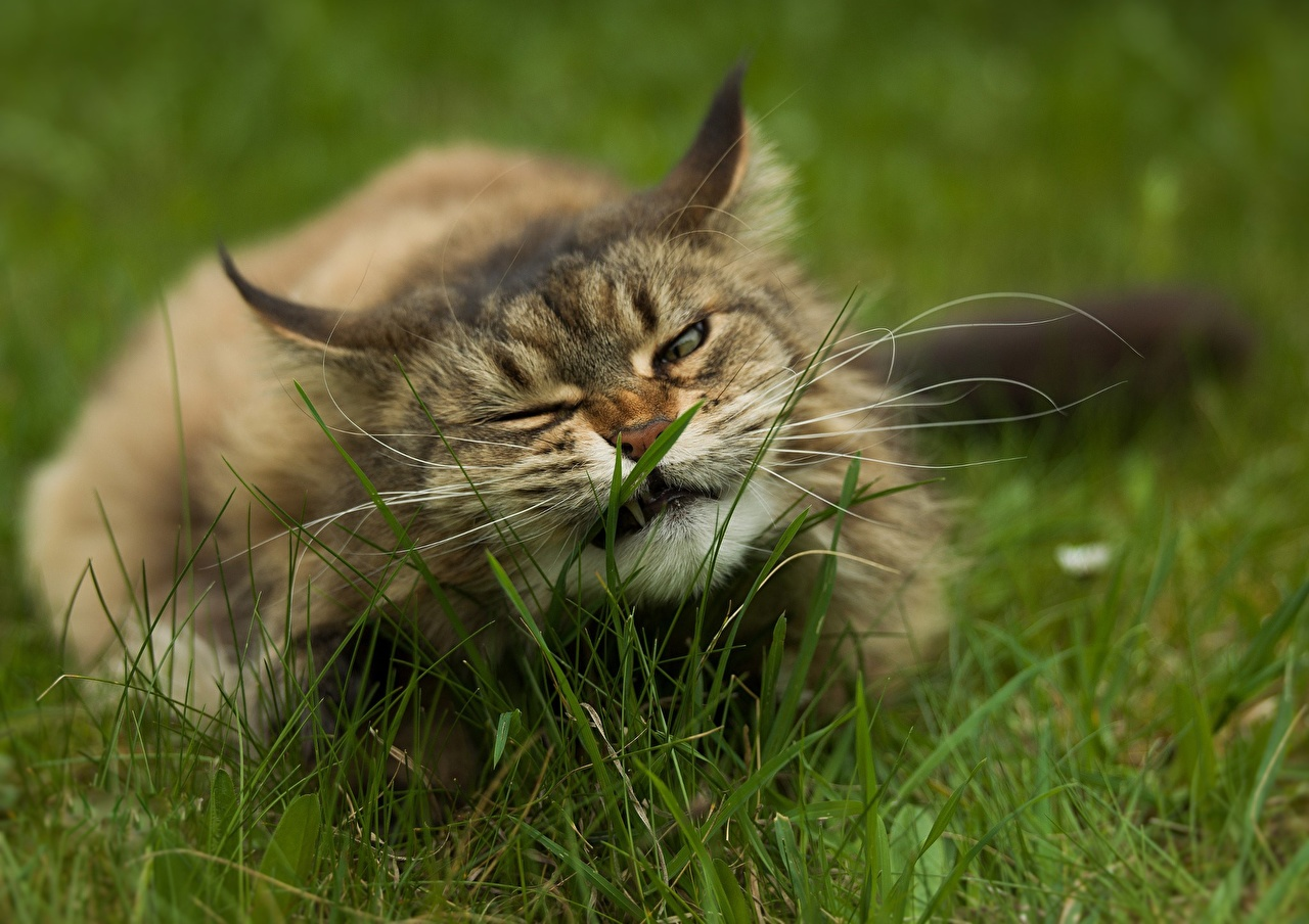 Desktop Wallpapers Cats Funny Whiskers Grass Animals cat animal