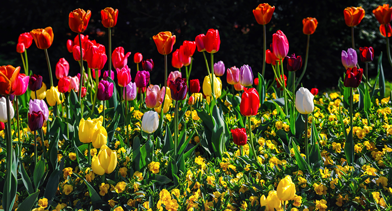 Picture Multicolor tulip flower Many Tulips Flowers
