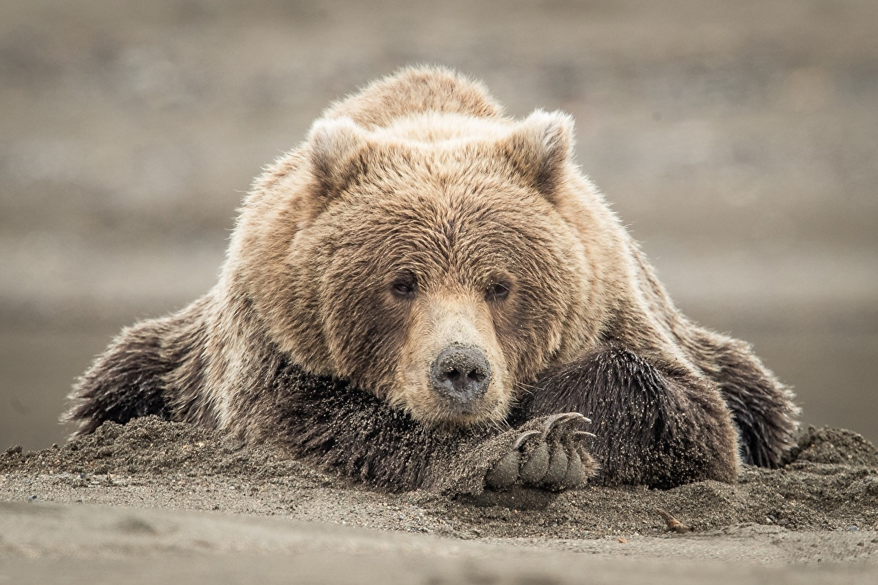 Picture Grizzly Bears Sand Paws animal Brown Bears bear Animals