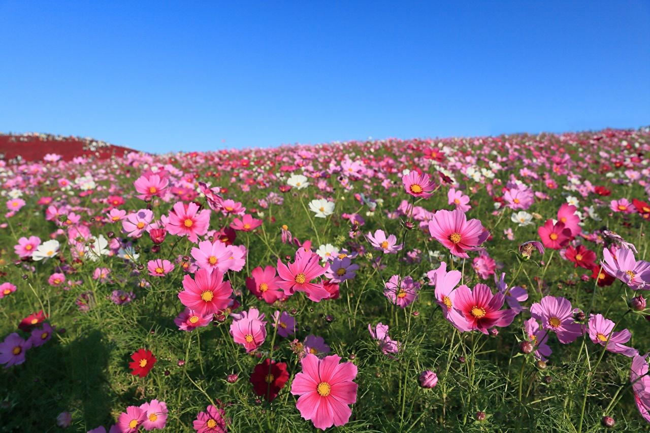 Desktop Hintergrundbilder Blumen Kosmeen Grünland Viel Blüte Schmuckkörbchen