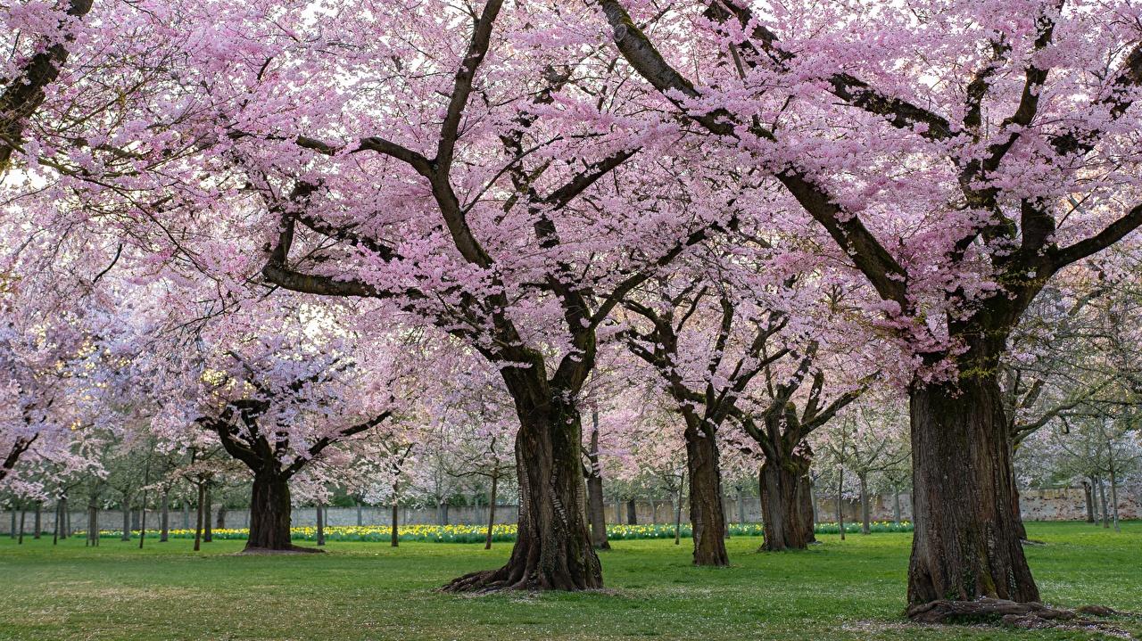 Photos Sakura Decorative Cherry Spring Nature Parks Gardens Trees Flowering trees Cherry blossom park