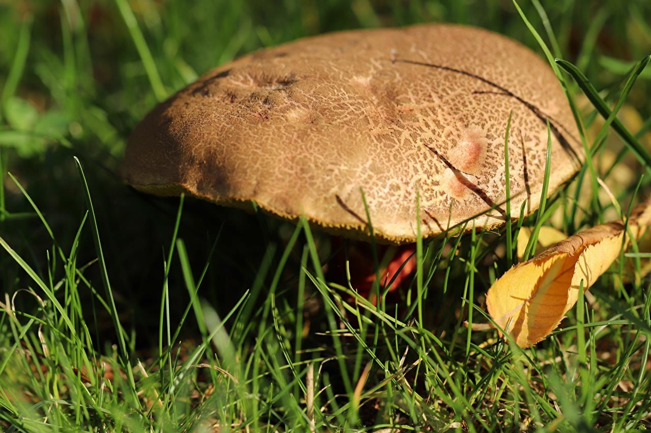 Skrivebordsbakgrunn Løv Steinsopp Natur Gress Sopp natur Nærbilde blad Bladene sopper