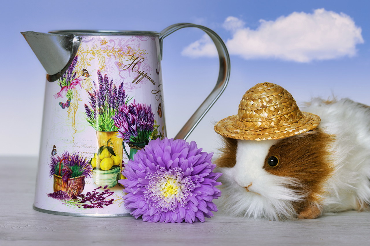 Photos Guinea pigs Hat Asters flower animal cuy cavy Flowers Animals