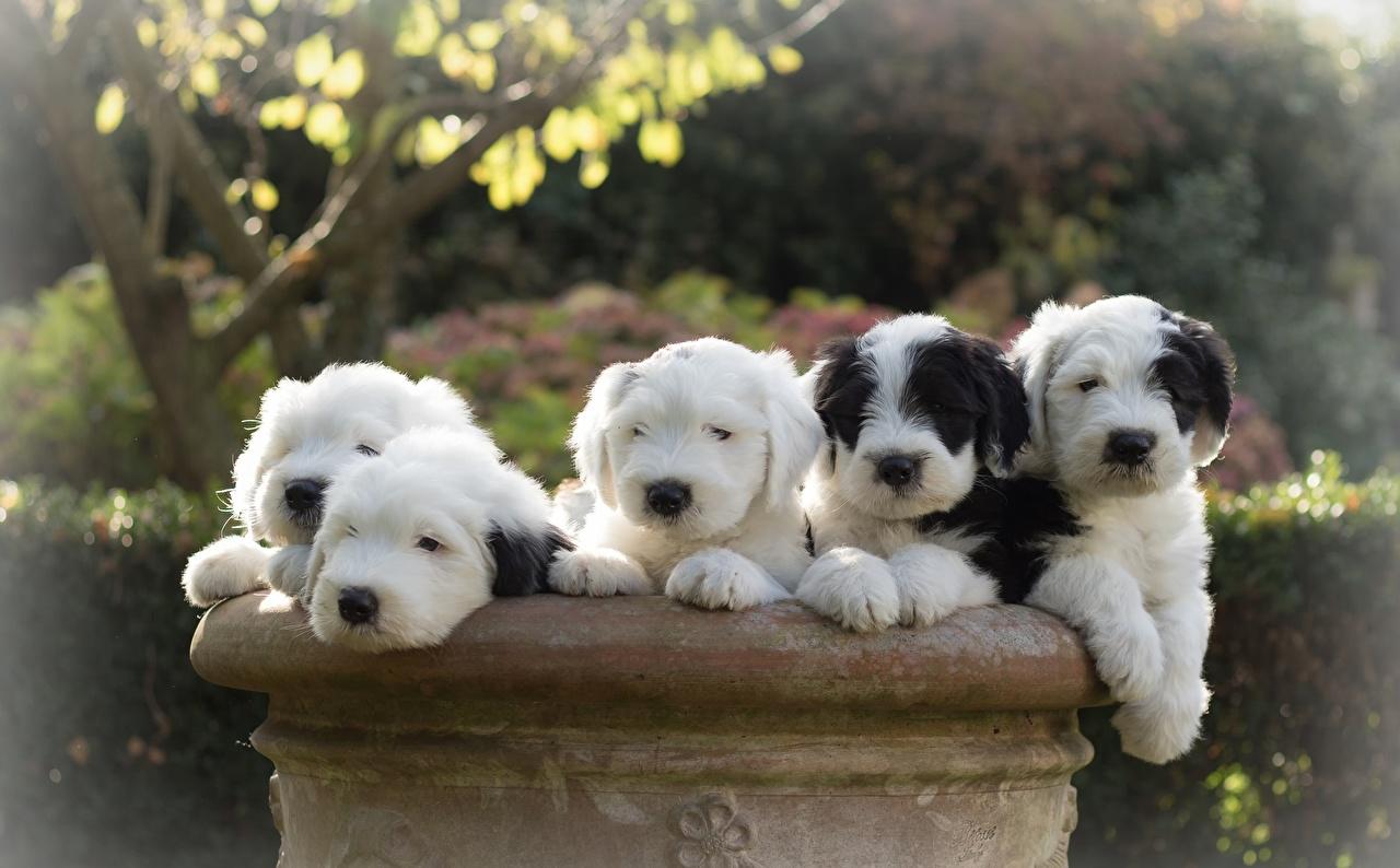 Wallpaper puppies Old English Sheepdog dog Animals Puppy Dogs animal