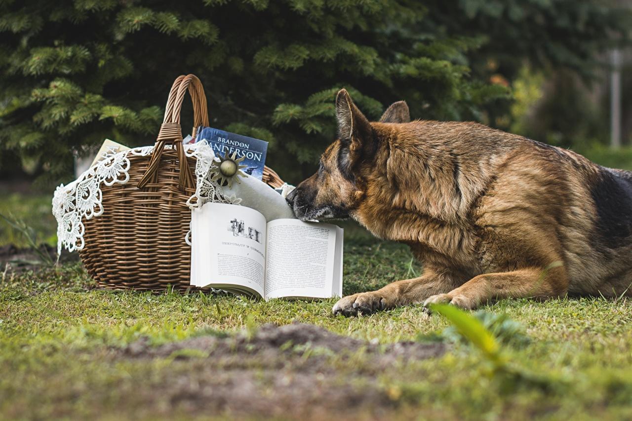 Foto Shepherd Hunde Weidenkorb Buch Tiere Bücher