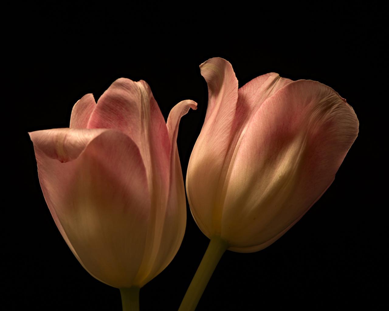 Foto 2 Tulpen Blumen hautnah Schwarzer Hintergrund Zwei Blüte Nahaufnahme Großansicht