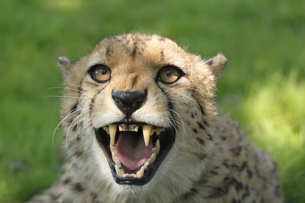 Images Cheetahs Canine tooth fangs angry Head Glance animal Closeup cheetah Roar Staring Animals
