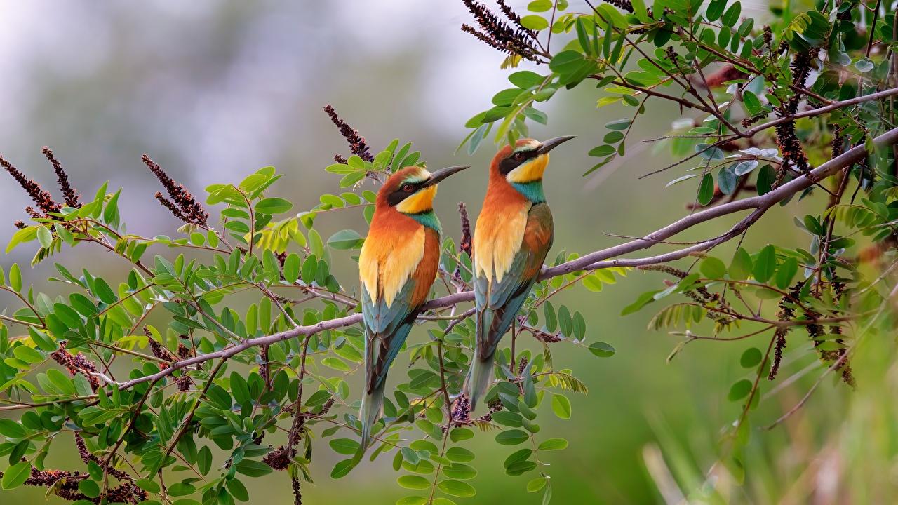 Photos bird European bee-eater 2 Branches Animals Birds Two animal