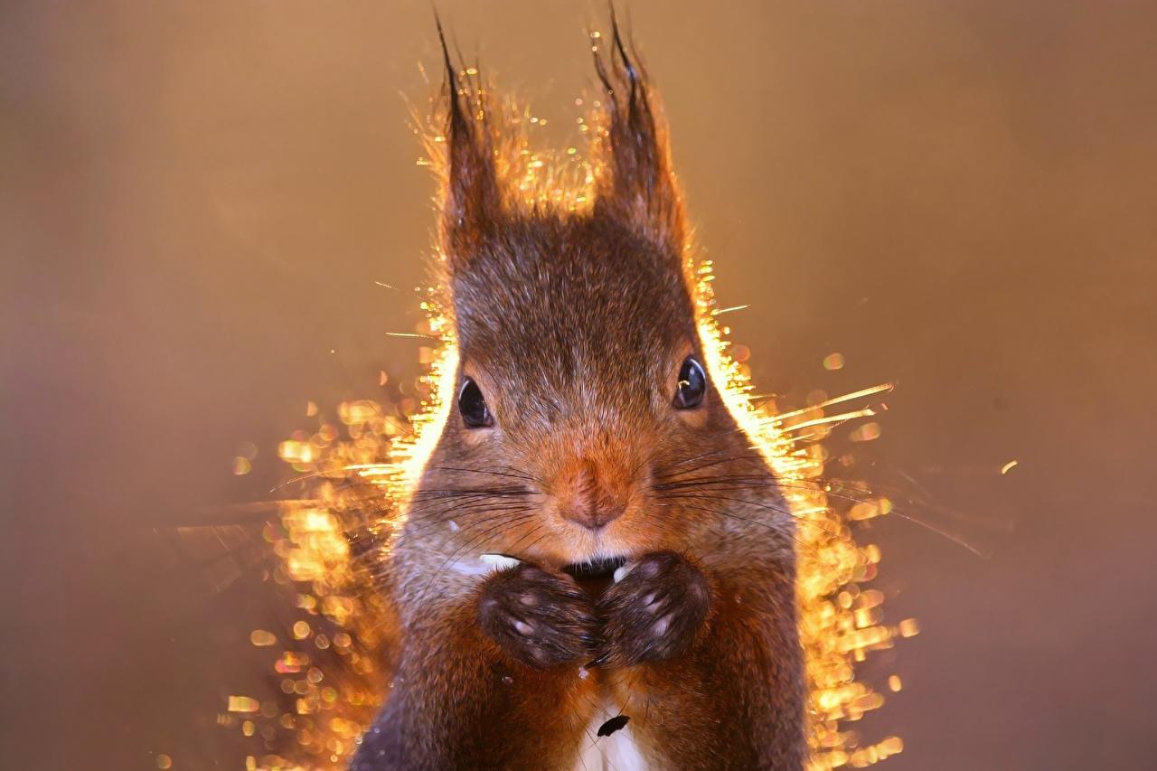 Hintergrundbilder Hörnchen Tiere Starren Großansicht Eichhörnchen Blick