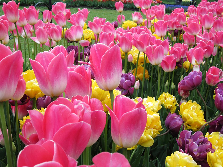 Image Tulips Pink color Flowers Closeup tulip flower