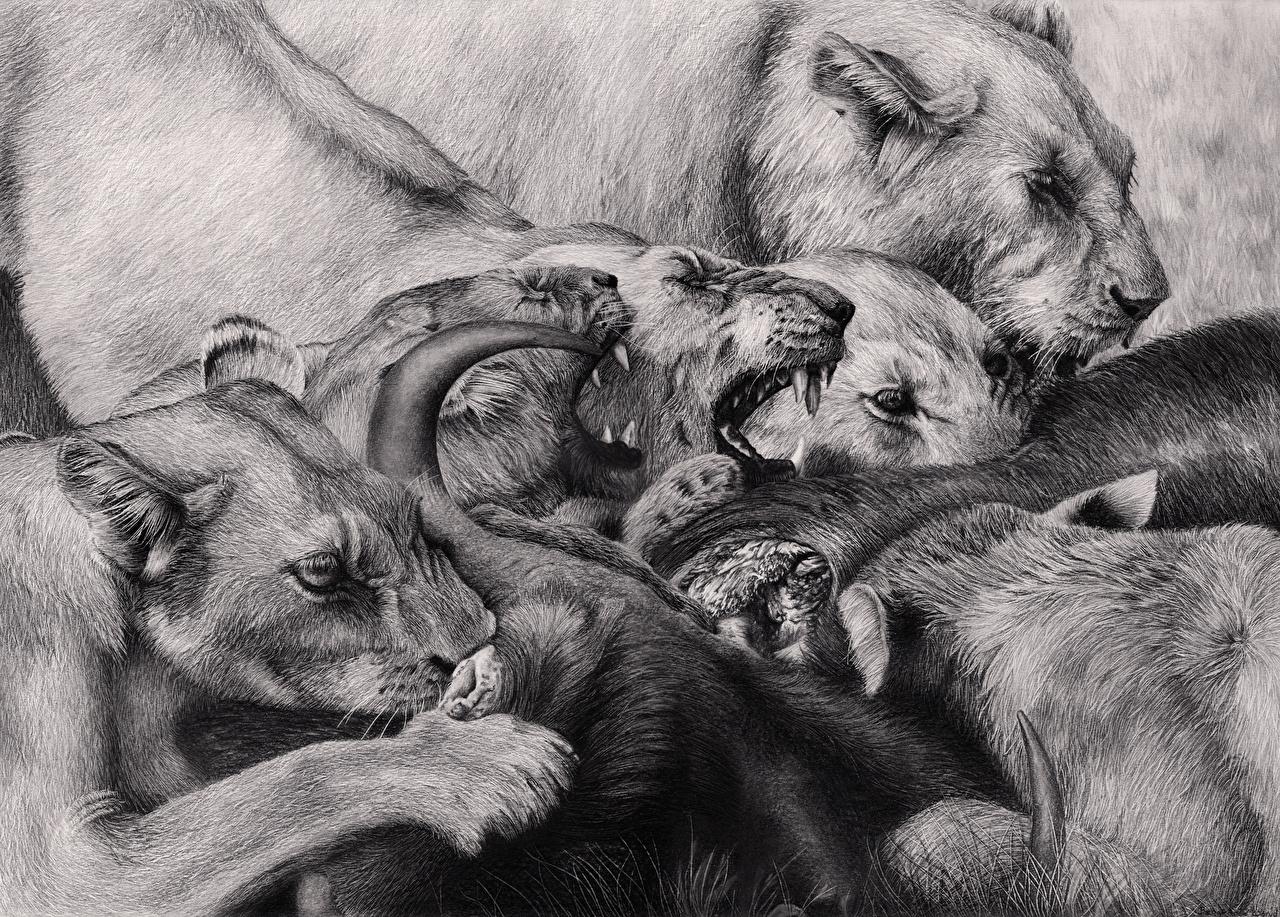 Bilder Von Löwen Große Katze Eckzahn Grinsen Schwarzweiss Tiere